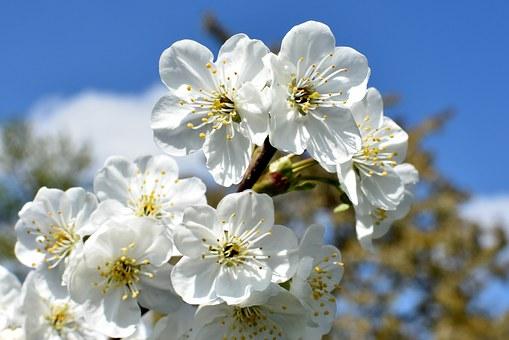 cherries-1363318__340.jpg
